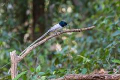 Ασιατικός παράδεισος flycatcher που σκαρφαλώνει σε έναν κλάδο Στοκ Φωτογραφία