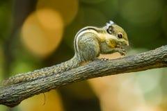 Ασιατικός ριγωτός σκίουρος στοκ φωτογραφίες