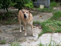 Ασιατικός φλοιός σκυλιών και στάση στο έδαφος τσιμέντου Στοκ εικόνα με δικαίωμα ελεύθερης χρήσης