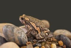 Ασιατικός χρωματισμένος βάτραχος Στοκ φωτογραφία με δικαίωμα ελεύθερης χρήσης