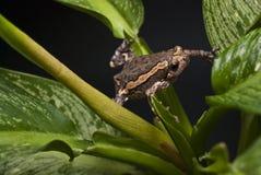Ασιατικός χρωματισμένος βάτραχος Στοκ εικόνα με δικαίωμα ελεύθερης χρήσης