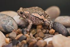 Ασιατικός χρωματισμένος βάτραχος Στοκ φωτογραφίες με δικαίωμα ελεύθερης χρήσης