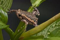 Ασιατικός χρωματισμένος βάτραχος στοκ εικόνες