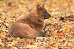 Ασιατικό άγριο σκυλί Στοκ Φωτογραφία