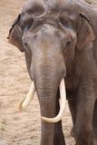 ασιατικό αρσενικό ελεφάν Στοκ φωτογραφία με δικαίωμα ελεύθερης χρήσης