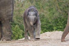 ασιατικό γεννημένο θηλυκό νέο παιχνίδι ελεφάντων Στοκ Εικόνες
