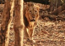 ασιατικό λιοντάρι στοκ εικόνες