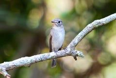 ασιατικό καφετί flycatcher στοκ φωτογραφία με δικαίωμα ελεύθερης χρήσης