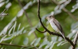 ασιατικό καφετί flycatcher στοκ εικόνες