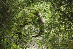 Ασιατικό κρύψιμο ελεφάντων στο δάσος μπαμπού στοκ φωτογραφίες