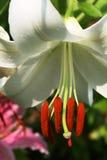 ασιατικό λευκό κρίνων casa BLANCA Στοκ φωτογραφίες με δικαίωμα ελεύθερης χρήσης