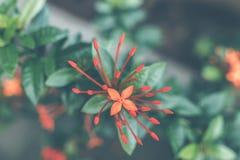 ασιατικό λουλούδι ανασκόπησης Νησί του Μπαλί Στοκ Εικόνες