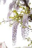 Ασιατικό λουλούδι ανθών Στοκ Εικόνες