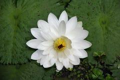 Ασιατικό λουλούδι κρίνων νερού σε μια λίμνη Στοκ Εικόνες