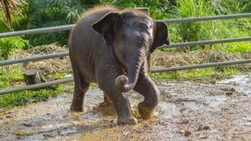 Ασιατικό παιχνίδι μωρών ελεφάντων στο λασπώδες νερό, phang nga, Ταϊλάνδη Στοκ φωτογραφίες με δικαίωμα ελεύθερης χρήσης