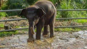 Ασιατικό παιχνίδι μωρών ελεφάντων στο λασπώδες νερό, phang nga, Ταϊλάνδη Στοκ Φωτογραφία