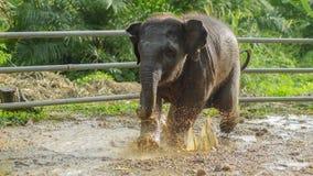 Ασιατικό παιχνίδι μωρών ελεφάντων στο λασπώδες νερό, phang nga, Ταϊλάνδη Στοκ φωτογραφία με δικαίωμα ελεύθερης χρήσης