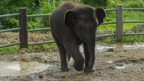 Ασιατικό παιχνίδι μωρών ελεφάντων στο λασπώδες νερό, phang nga, Ταϊλάνδη Στοκ Εικόνες