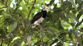 Ασιατικό παρδαλό πουλί hornbill στο δέντρο απόθεμα βίντεο