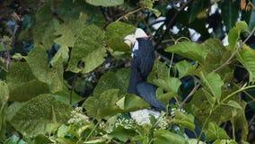 Ασιατικό παρδαλό hornbill φιλμ μικρού μήκους