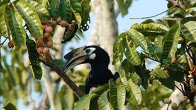 Ασιατικό παρδαλό Hornbill απόθεμα βίντεο