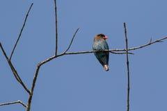Ασιατικό πουλί κυλίνδρων dollarbird με το καφετιά επικεφαλής μπλε σώμα και το Πε Στοκ εικόνες με δικαίωμα ελεύθερης χρήσης