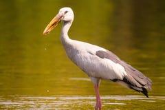 Ασιατικό πουλί πελαργών Openbill με την τρομερή άποψη Στοκ φωτογραφίες με δικαίωμα ελεύθερης χρήσης