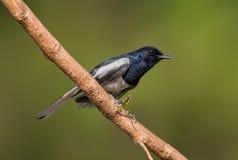 Ασιατικό πουλί της Robin κισσών στοκ εικόνα