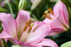 ασιατικό ροζ κρίνων Στοκ Εικόνα