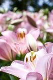 ασιατικό ροζ κρίνων Στοκ Φωτογραφία