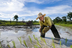 ασιατικό ρύζι αγροτών Στοκ Φωτογραφίες