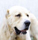 Ασιατικό σκυλί προβάτων Στοκ εικόνα με δικαίωμα ελεύθερης χρήσης