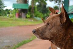 Ασιατικό σκυλί στοκ φωτογραφίες