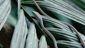 Ασιατικό φίδι αμπέλων απόθεμα βίντεο
