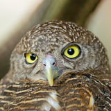 Ασιατικό φραγμένο Owlet Στοκ εικόνες με δικαίωμα ελεύθερης χρήσης