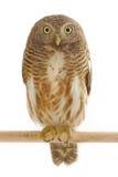 Ασιατικό φραγμένο Owlet Στοκ Εικόνες