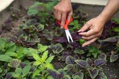 Ασιατικό ψαλίδι και κοπή εκμετάλλευσης ατόμων το κόκκινο homegrown λαχανικό στο οργανικό αγρόκτημα στοκ φωτογραφία