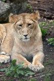 ασιατικό cub λιοντάρι Στοκ Φωτογραφία