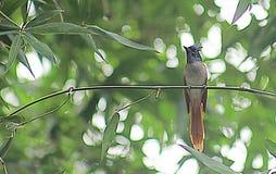 Ασιατικό flycatcher παραδείσου θηλυκό στο βιότοπο στοκ φωτογραφίες με δικαίωμα ελεύθερης χρήσης