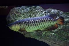 Ασιατικό formosus Scleropages arowana Στοκ Εικόνα