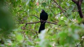 Ασιατικό koel πουλιών στο δέντρο στις άγρια περιοχές φύσης φιλμ μικρού μήκους