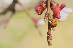 Ασιατικό Ladybug στο δέντρο της Apple Στοκ Φωτογραφία