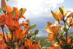 Ασιατικό Lillies στο κλίμα επαρχίας Στοκ φωτογραφία με δικαίωμα ελεύθερης χρήσης