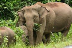ασιατικό maximus elephas ελεφάντων Στοκ Εικόνα