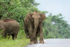 ασιατικό maximus elephas ελεφάντων Στοκ εικόνα με δικαίωμα ελεύθερης χρήσης