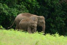 ασιατικό maximus elephas ελεφάντων Στοκ Φωτογραφία