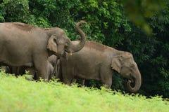 ασιατικό maximus elephas ελεφάντων Στοκ φωτογραφίες με δικαίωμα ελεύθερης χρήσης