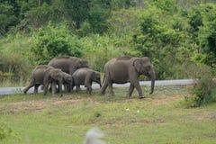 ασιατικό maximus elephas ελεφάντων Στοκ Εικόνες