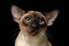 ασιατικό shorthair γατών στοκ φωτογραφία με δικαίωμα ελεύθερης χρήσης