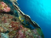 Ασιατικό Sweetlips κρύψιμο Ινδικού Ωκεανού κάτω από το επιτραπέζιο κοράλλι Στοκ φωτογραφίες με δικαίωμα ελεύθερης χρήσης